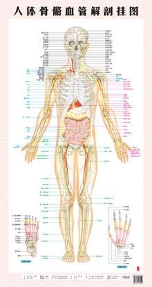 人体骨骼血管解剖挂图